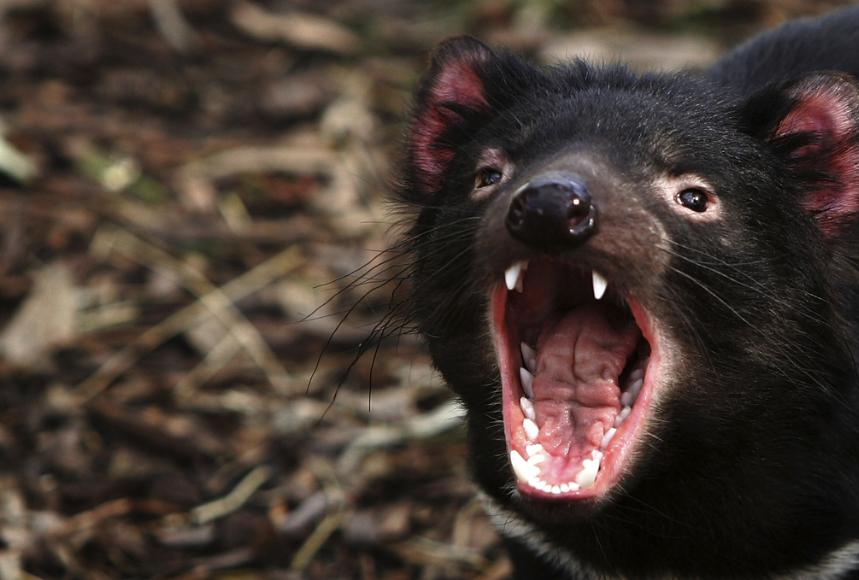 Tasmanian Devil / Credits : by Ian Waldie