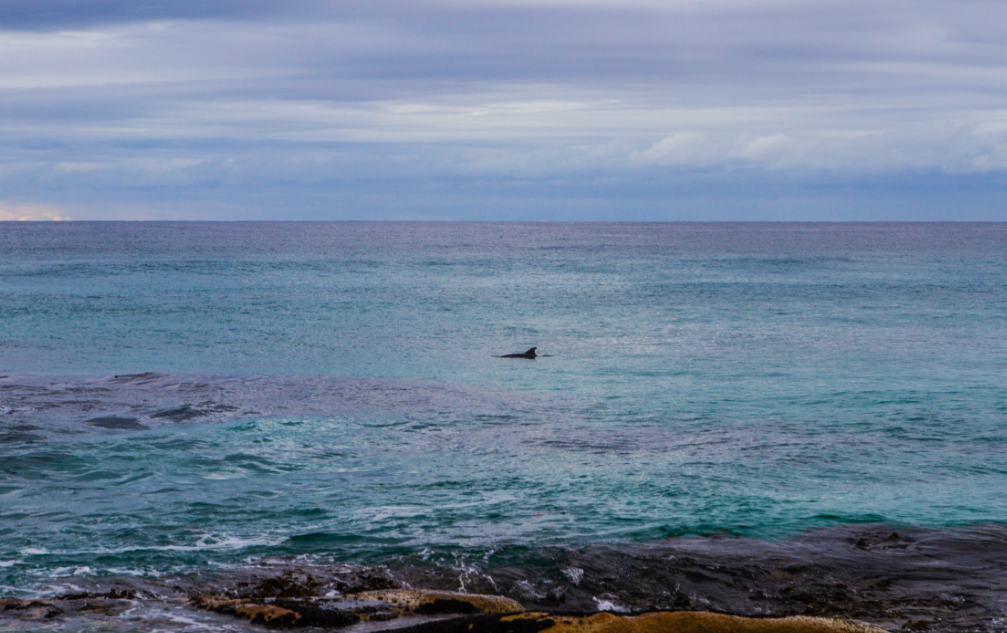 Dolphins swimming at Friendly Beach - Tasmania / Credits : iamabackpacker