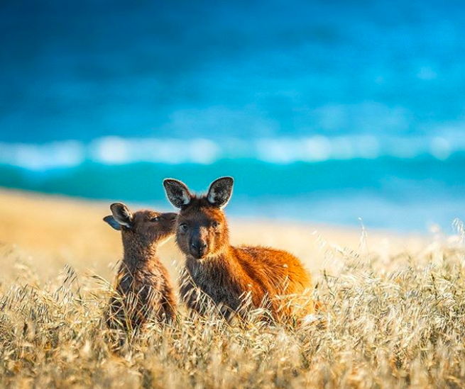 Kangaroo Island -  © benjamingoode